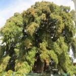 Árbol del Tule - Mexikanische Sumpzypresse