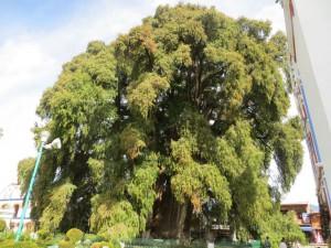 Der Árbol del Tule, deutsch Baum von Tule, ist ein etwa 1200–3000 Jahre altes Baumexemplar der Art Mexikanische Sumpfzypresse. Mit einem Stammdurchmesser von 14,05 Metern ist er der dickste Baum der Welt.