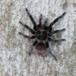 Tarantula ist...