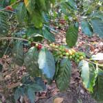 Coban - Kaffeefrüchte in einer Kaffeeplantage