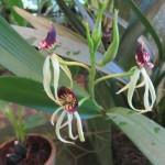 Coban - Im Orchideengarten