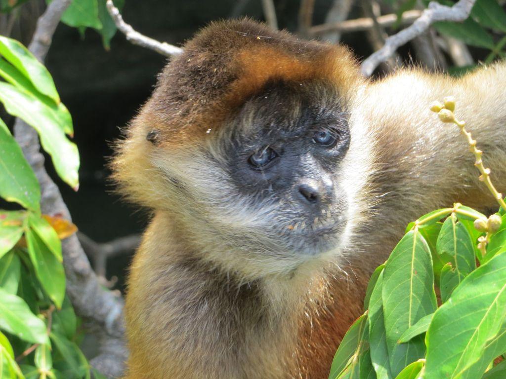 035-21 Spider monkey