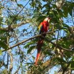 Einer der schönen Macaw Aras