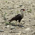 Caracara - eine Falkenart