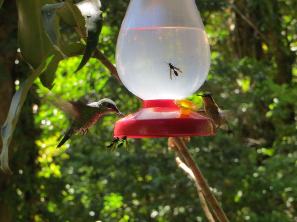 036 Es gibt in Costa Rica 130 Kolibri-Arten