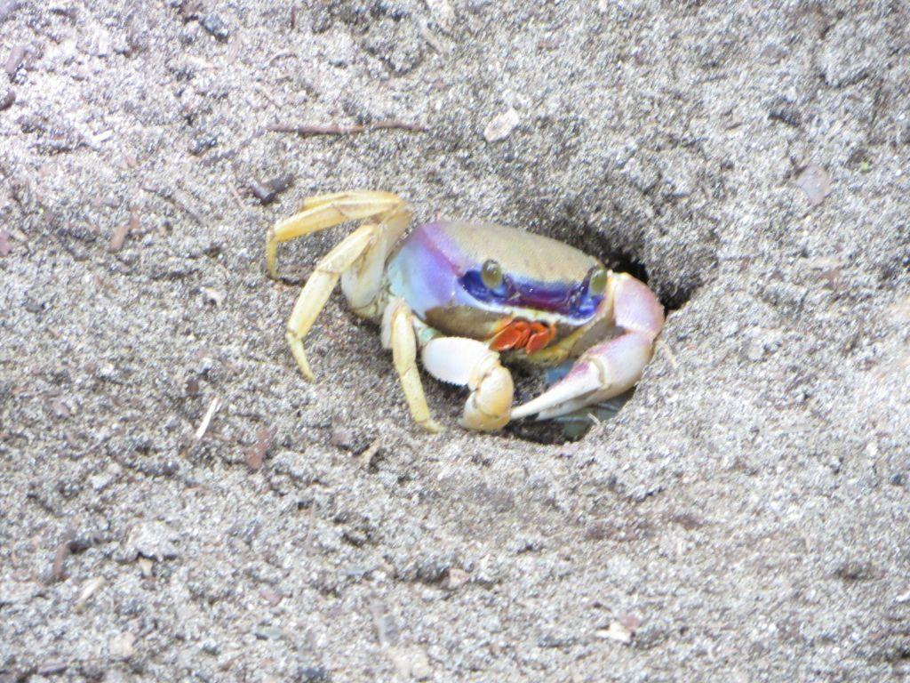 036 Krabbe
