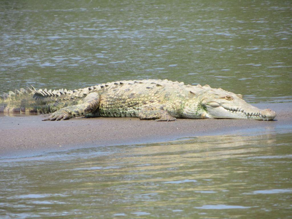 036 Krokodil