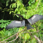 Schlangelhalsvogel  Männchen
