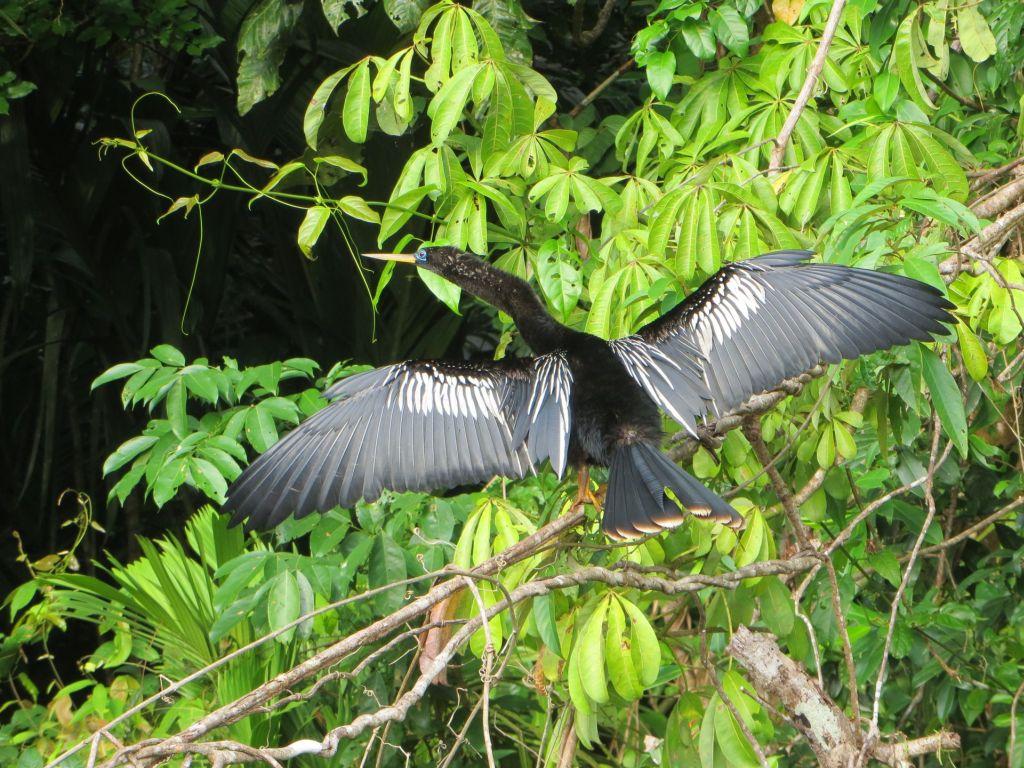 036 Schlangelhalsvogel  Männchen
