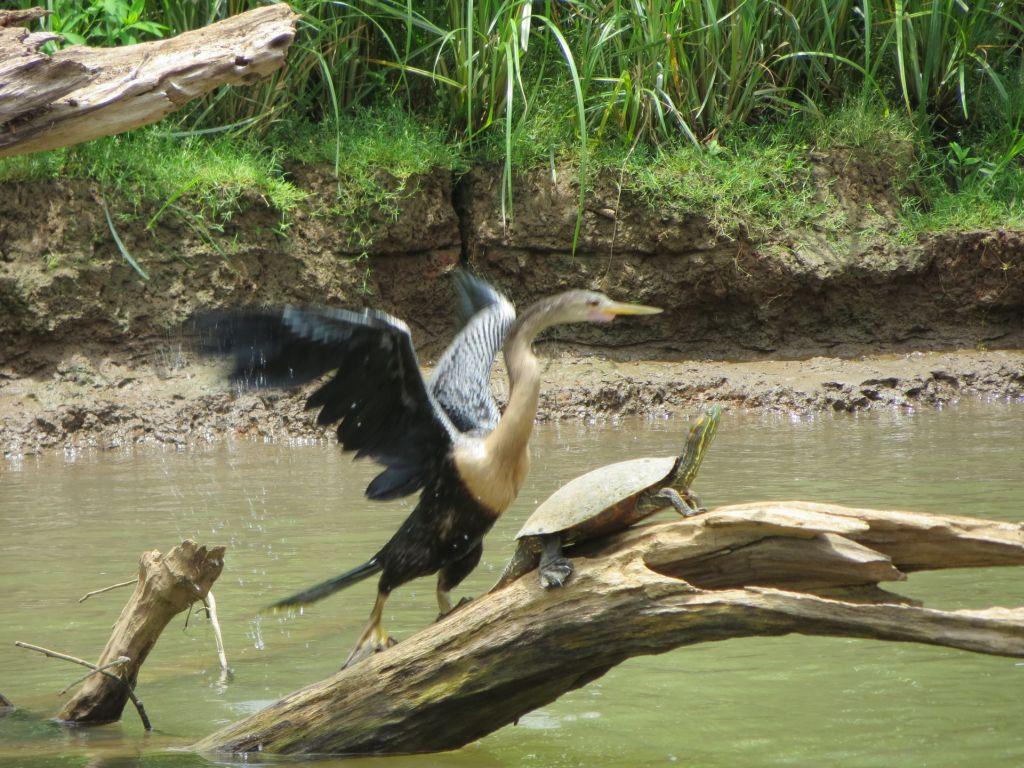 036 Schlangenhalsvogel