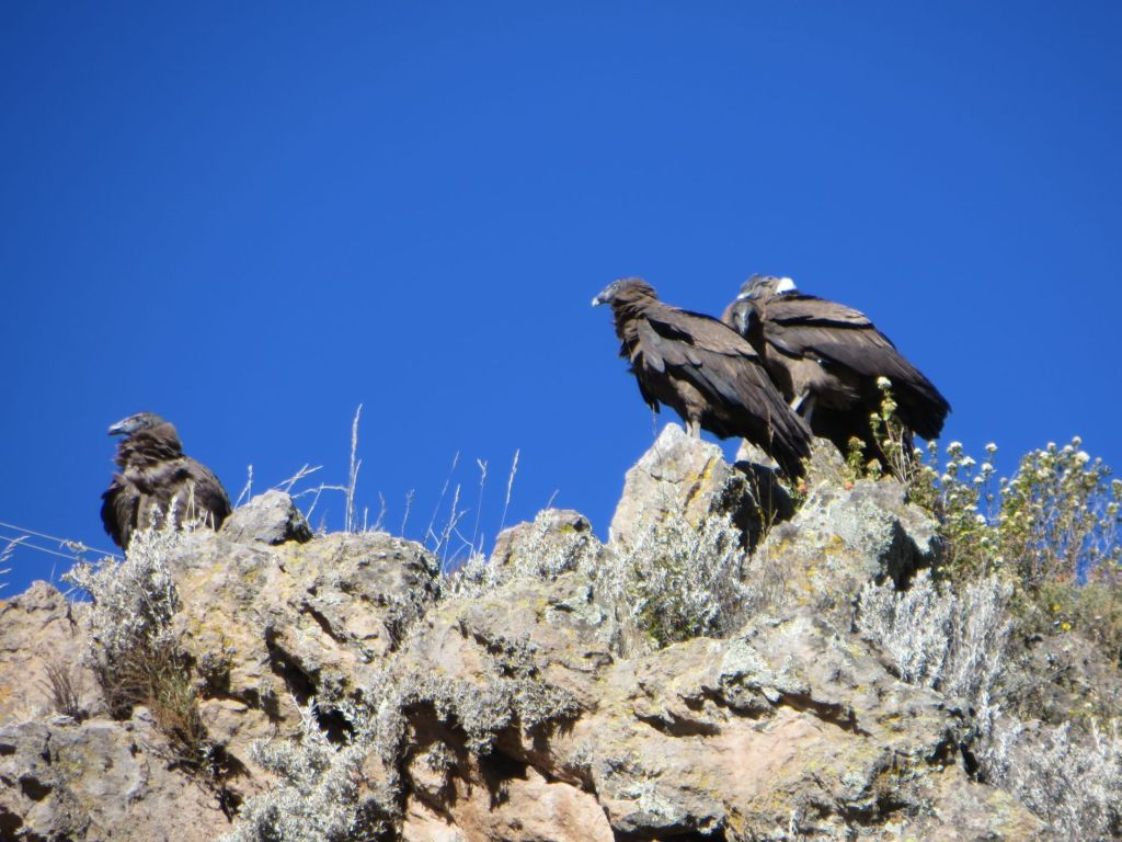 039-04 Kondore im Colca Canyon