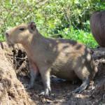 Pampa - Capybara zu deutsch Wasserschwein, der grösste Nager der Erde, ausgewachsen sind sie so gross wie ein Hausschwein