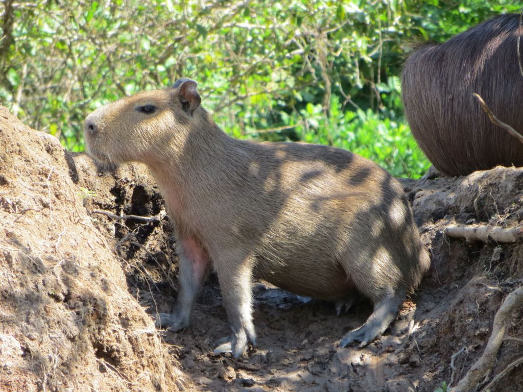 039-20 Pampa - Capybara zu deutsch Wasserschwein, der grösste Nager der Erde, ausgewachsen sind sie so gross wie ein Hausschwein