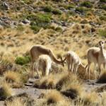 Vicunas, eine kleine Lama-Art, lebt meist oberhalb von 4.000 m