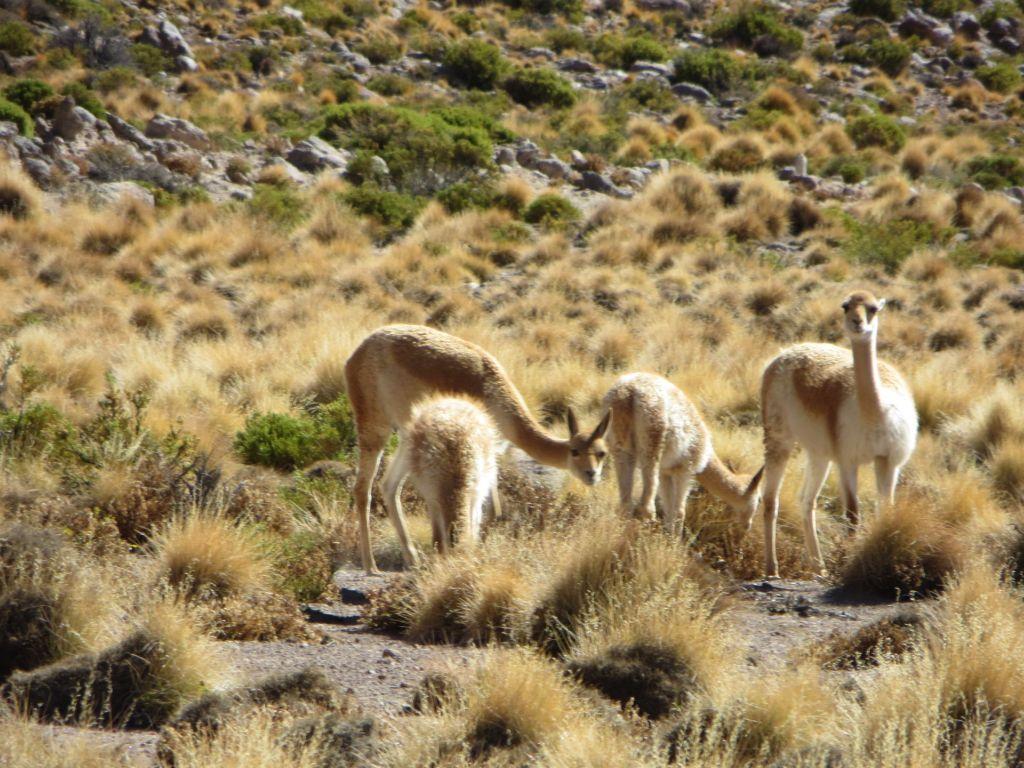 039-33 Vicunas, eine kleine Lama-Art, lebt meist oberhalb von 4.000 m