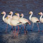 In den Lagunen suchen Hunderte von Flamingos nach Nahrung