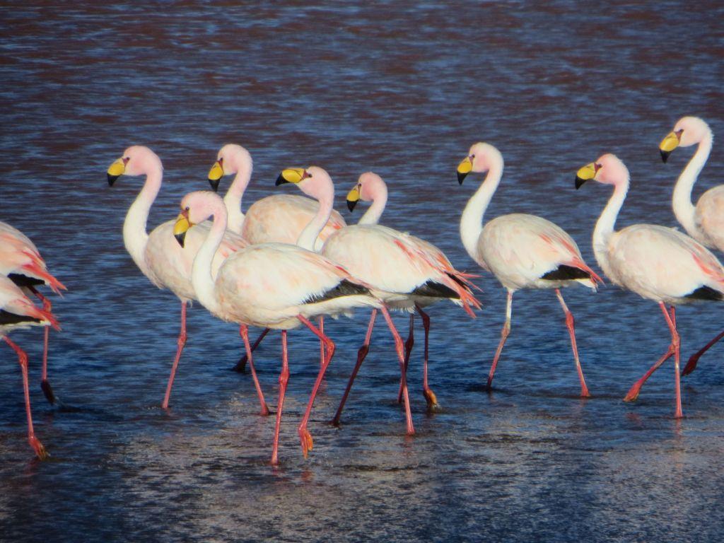 039-41 In den Lagunen suchen Hunderte von Flamingos nach Nahrung